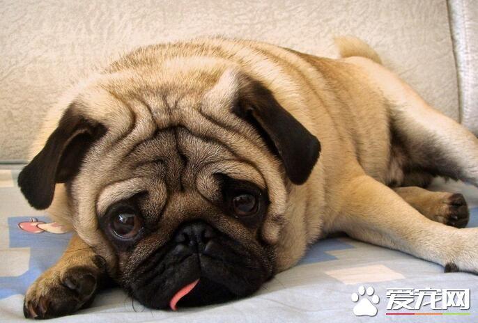 巴哥犬怎么看纯种 如何辨别纯种的巴哥犬