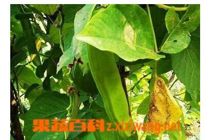 果蔬百科青刀豆